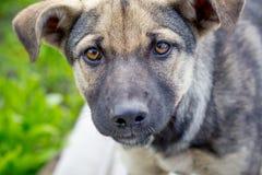 Портрет молодого крупного плана собаки Собака смотрит forward_ Стоковые Фото