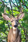 Портрет молодого оленя самца оленя осла - ясного и красочного - с соснами и дубами стоковая фотография