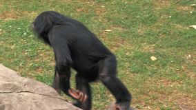 Портрет молодого шимпанзе сидя на утесе и царапая на зоопарке сток-видео