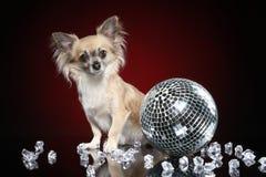 Портрет молодой собаки чихуахуа стоковое изображение rf
