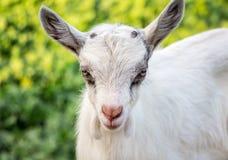 Портрет молодой goatling на зеленой расплывчатой предпосылке разведенными стоковое фото rf
