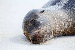 Портрет морского льва Галапагос лежа на пляже на заливе Gardner стоковое изображение