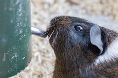 Портрет морской свинки Стоковая Фотография RF