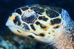 Портрет морской черепахи Hawksbill стоковые фото