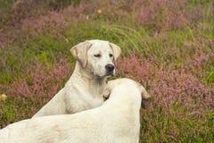 Портрет молодого белого щенка собаки Retriever Лабрадора в поле Стоковая Фотография RF