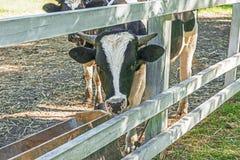 Портрет молодого быка в поле для идти скотин лета Стоковые Фотографии RF