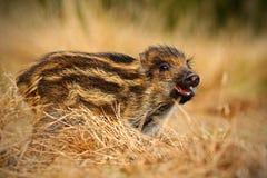 Портрет молодого дикого кабана, scrofa Sus, бежать в луге травы, красный лес осени в предпосылке, животном в среду обитания травы Стоковое фото RF