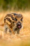 Портрет молодого дикого кабана, scrofa Sus, бежать в луге травы, красный лес осени в предпосылке, животном в среду обитания травы Стоковая Фотография