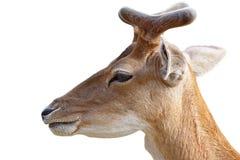Портрет молодого самца оленя оленей над белизной Стоковое фото RF