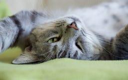 Портрет молодого сонного кота Стоковые Изображения RF