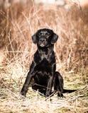Портрет молодого черного щенка labrador Стоковые Фотографии RF