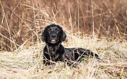 Портрет молодого черного щенка labrador Стоковые Фото