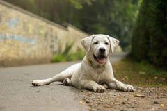 Портрет молодого щенка собаки Retriever Лабрадора Стоковые Фото