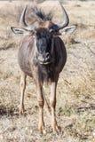 Портрет молодой антилопы гну Стоковая Фотография RF