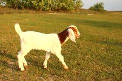 Портрет молодой козы младенца и мамы ослабляет на зеленом луге, tha Стоковое фото RF