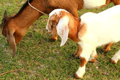 Портрет молодой козы младенца и мамы ослабляет на зеленом луге, tha Стоковые Фотографии RF