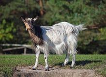 Портрет молодой отечественной козы на зеленом луге Стоковое фото RF