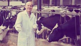 Портрет мужских ветеринарных заботя коров Стоковая Фотография