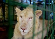 Портрет мужского белого льва стоковое фото