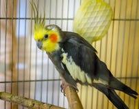 Портрет мужского волнистого попугайчика Стоковая Фотография