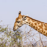 Портрет мужского жирафа в парке Kruger, Южной Африке Стоковые Фото