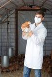 Портрет мужского зооветеринарного держа цыпленка Стоковая Фотография