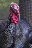 Портрет мужского индюка в дне осени Стоковое Фото