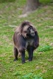 Портрет мужского павиана Gelada Стоковая Фотография RF