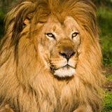 портрет мужчины льва Стоковая Фотография RF