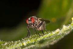 Портрет мухы макроса Стоковые Изображения RF