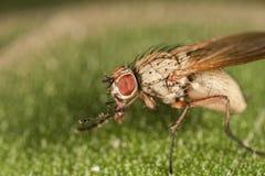 Портрет мухы макроса Стоковые Изображения