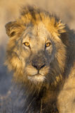 Портрет мыжского льва, Южно-Африканская РеспублЍ Стоковые Изображения RF