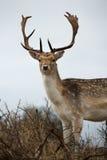 Портрет мыжского оленя стоя в кустах, Нидерланды стоковые фото