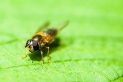 Портрет насекомого hoverfly Стоковые Фотографии RF