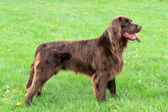 Портрет немецкой короткой-haried указывая собаки Стоковая Фотография RF