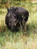 Портрет носорога, запаса Bandia, Сенегала стоковая фотография rf