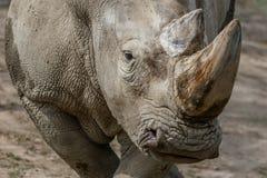 Портрет носорога стоковая фотография rf