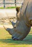 Портрет носорога Стоковое Изображение
