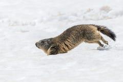 Портрет дня сурока земного борова бежать на снеге Стоковые Изображения