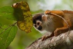Портрет обезьяны белки стоковое изображение