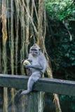 Портрет обезьяны еды в священном святилище леса обезьяны в Ubud, Бали, Индонезии стоковое изображение rf