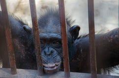 Портрет обезьяны наблюдая свободу стоковые изображения rf