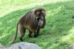 Портрет обезьяны обезьяны павиана Gelada Стоковая Фотография RF