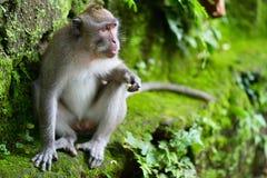 портрет обезьяны одичалый Стоковое фото RF