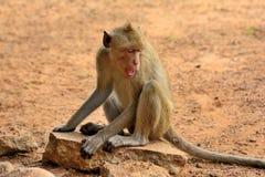 портрет обезьяны одичалый Стоковое Изображение RF