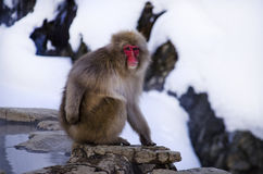 Портрет обезьяны Стоковая Фотография RF