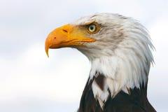 портрет облыселого орла Стоковое Изображение RF