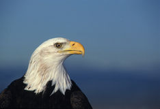 портрет облыселого орла Стоковые Изображения RF