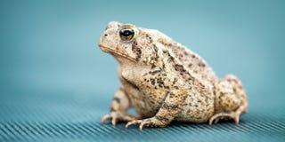Общая жаба стоковая фотография