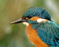 Портрет общих Kingfisher Стоковые Фото